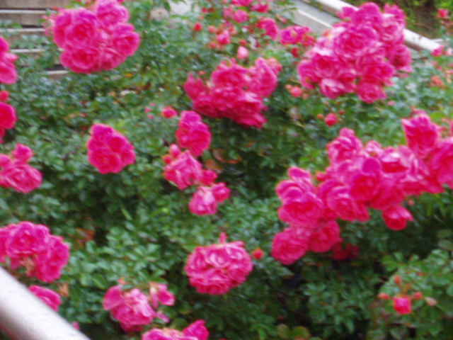 須磨薔薇7