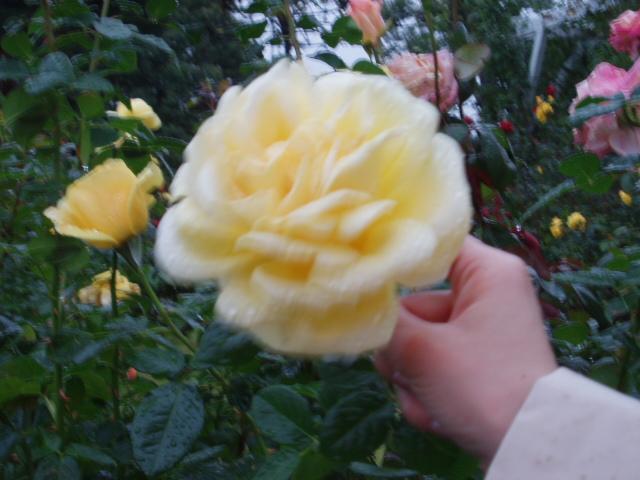 須磨薔薇8