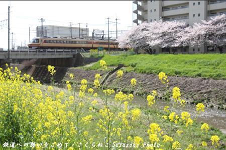 雷鳥桜&カラシナp