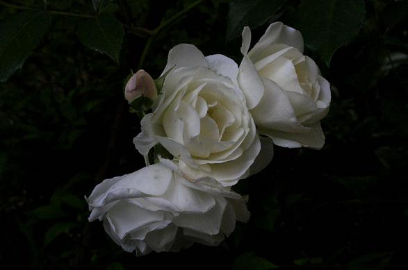 ホワイトローズ