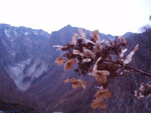 091108谷川岳のドライアジサイ