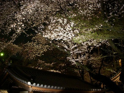 高輪プリンスの桜