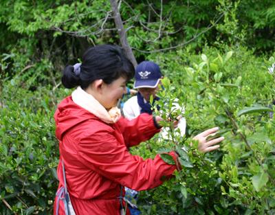 山茶摘み体験2011年110507c
