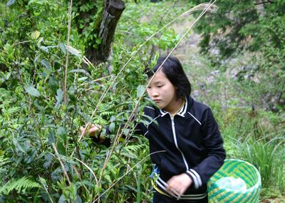 山茶摘み体験2011年110507e