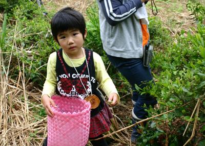 山茶摘み体験2011年110507f