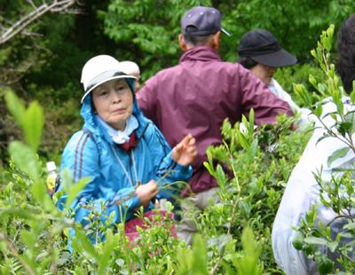 山茶摘み体験2011年110507g