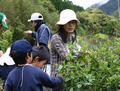 山茶摘み体験2011年110507h