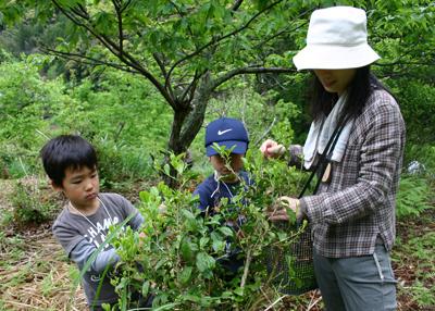 山茶摘み体験2011年110507i