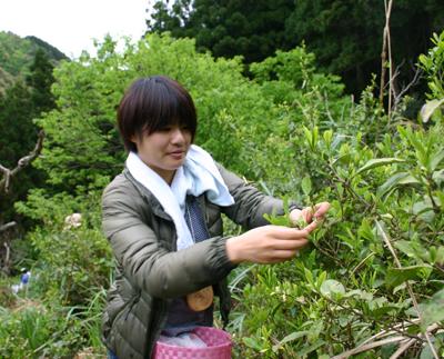 山茶摘み体験2011年110507j
