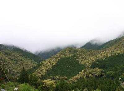 山茶摘み体験2011年110507k