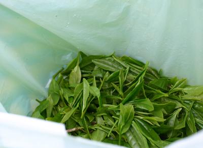 山茶摘み体験2011年110507l