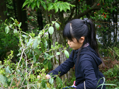 山茶摘み体験2011年110507n