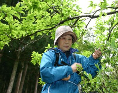 山茶摘み体験2011年110507q