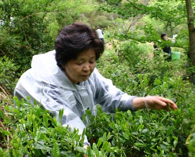 山茶摘み体験2011年110507r