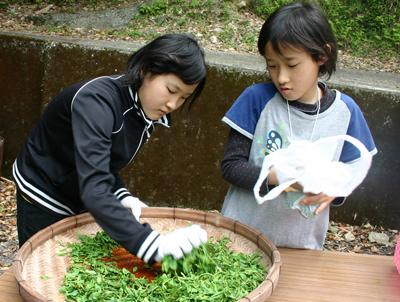 山茶摘み体験2011年 その2110508d