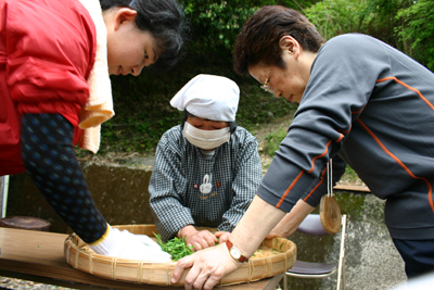 山茶摘み体験2011年 その2110508g