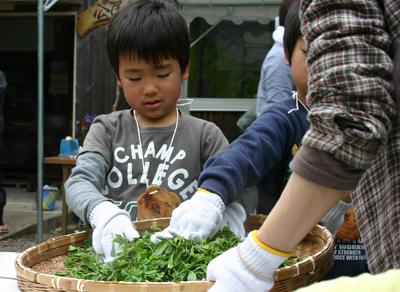 山茶摘み体験2011年 その2110508h