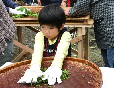 山茶摘み体験2011年 その2110508i