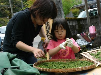 山茶摘み体験2011年 その2110508j