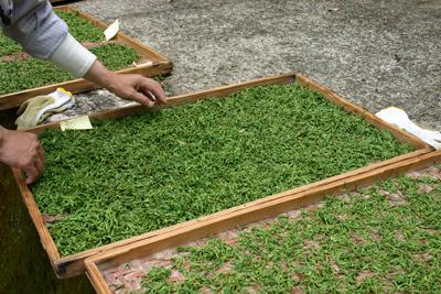 山茶摘み体験2011年 その2110508k