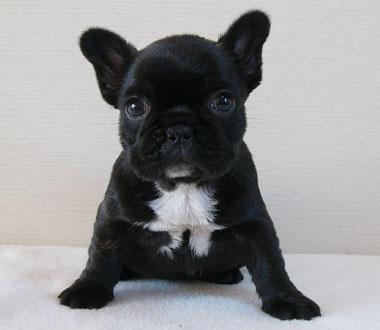 フレンチブルドッグ子犬