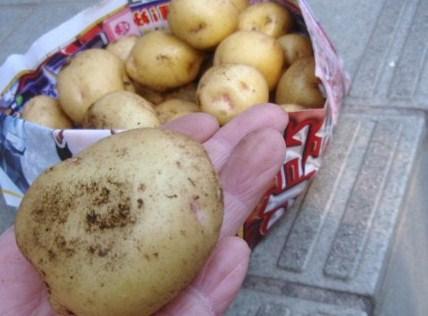5月18日収穫ジャガイモ2