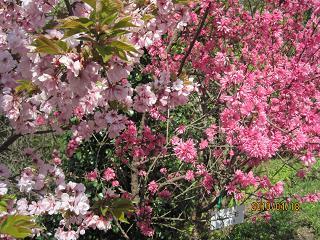 八重桜とキクモモ