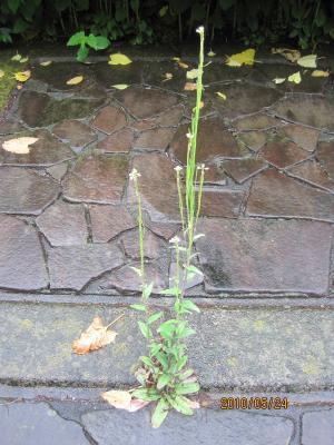 20100524 ヤマハタザオ+020_convert_20100526001116