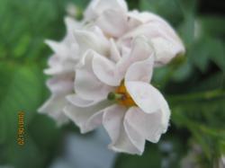 ジャガイモの花?+051_convert_20100621122909