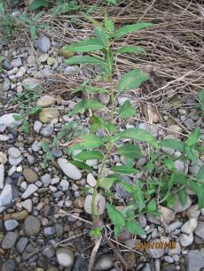 2010+06+28+柳の植栽?+039_convert_20100630231702