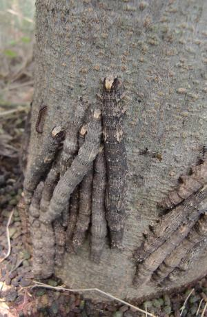 カキバトモエ幼虫