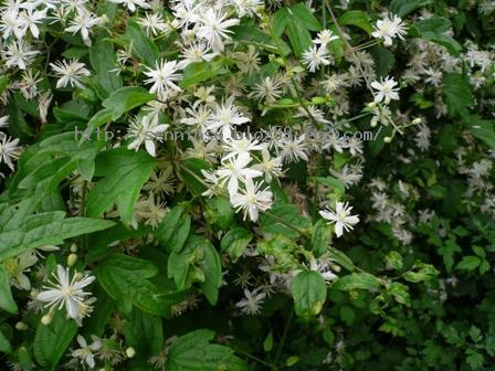 ボタンヅルの花