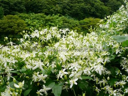 仙人草の花1