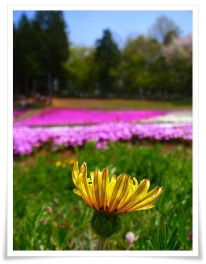 2011-04-27 羊山公園 芝桜 043