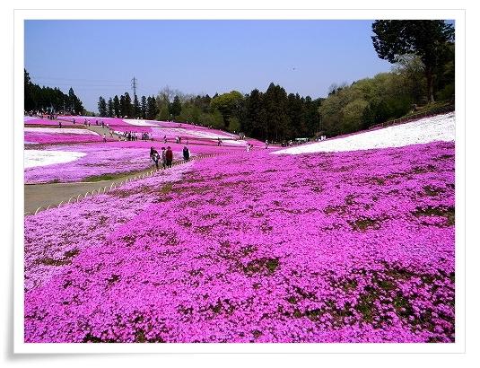 2011-04-27 羊山公園 芝桜 023