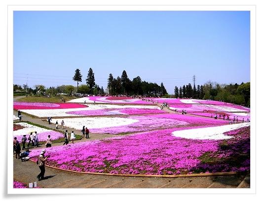 2011-04-27 羊山公園 芝桜 024