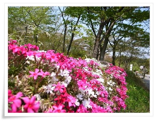 2011-04-27 羊山公園 芝桜 054