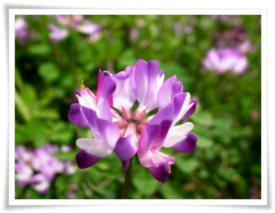 2011-05-02 久喜市レンゲ 069