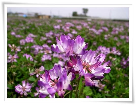 2011-05-02 久喜市レンゲ 077