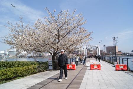 汽車道の桜。