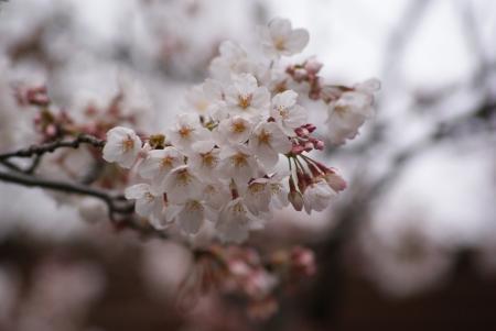 靖国の桜。