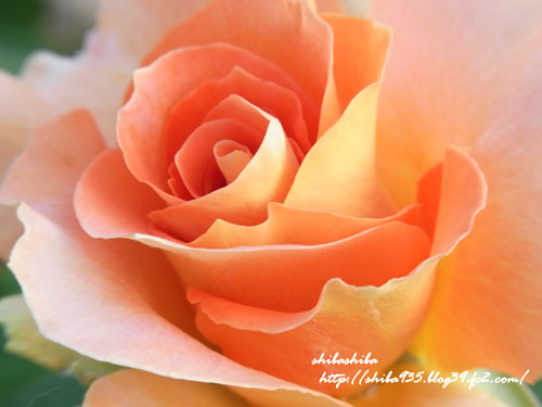 サンクガーデン   薔薇