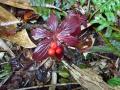ゴゼンタチバナの赤い実