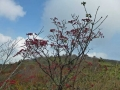 真っ赤なオオカメの木の実