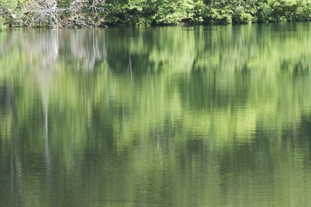 水面に映えるブナ
