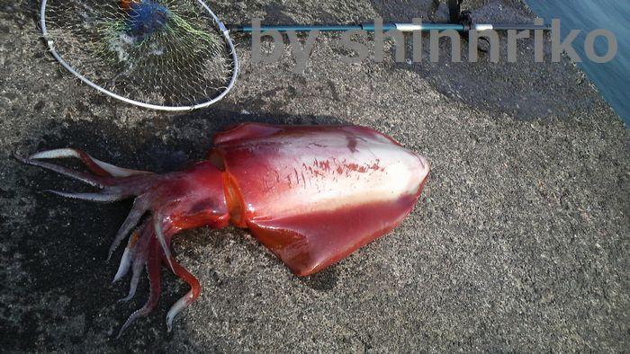 こんな巨大な赤イカも釣れます。ブホー!!と吼えていました。