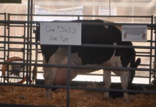 牛の妊婦さん