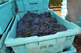 Grapes for Opus One wine