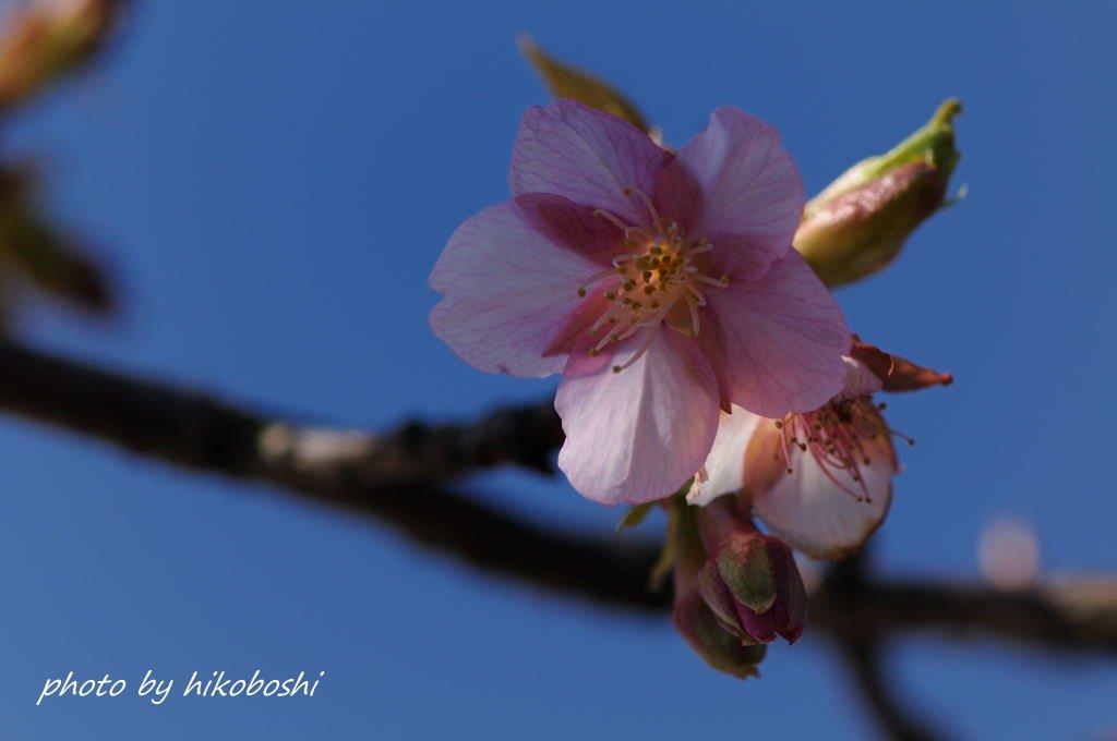 川津桜-2