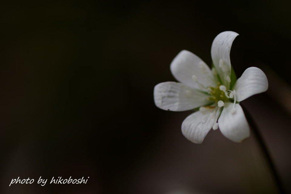 雪割草-1